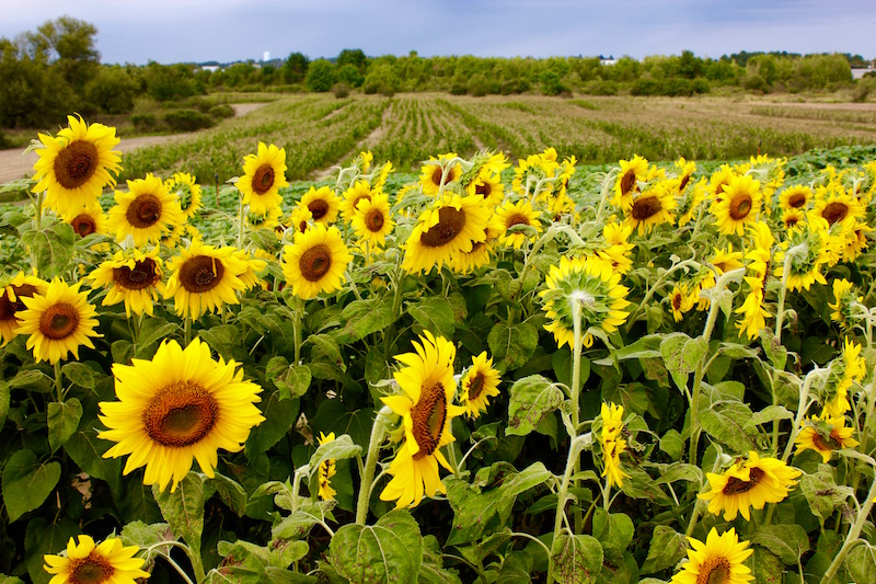 A Visit to Colby Farm Sunflower Field