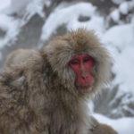snow monkey at Jigokudani Snow Monkey Park in Japan