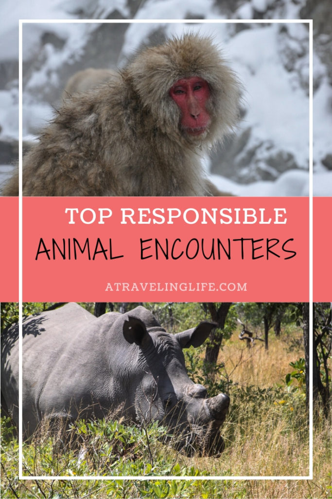 Responsible Wildlife Experiences From Around the World. Travel bloggers share their experiences with ethical wildlife encounters such as tracking white rhinos in Zimbabwe or seeing snow monkeys in Japan. | wildlife travel destinations | travel and wildlife | ecotourism | wildlife tourism | #responsibletravel #ecotourism #traveltips #wildlifetravel