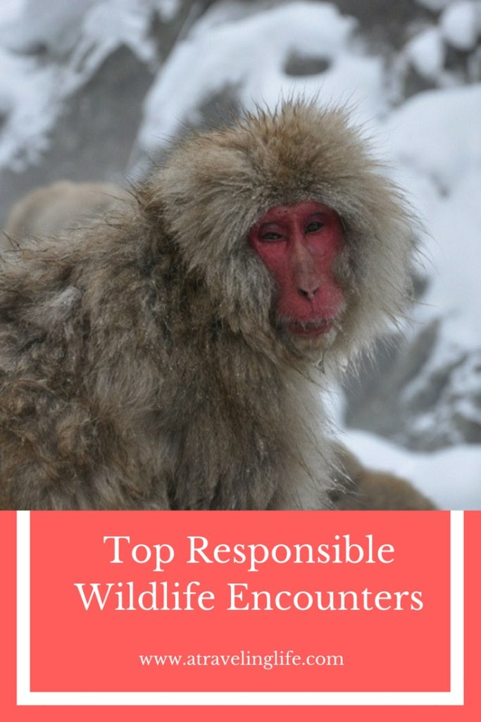 Top Wildlife Experiences Around the World. Travel bloggers share their ethical wildlife encounters in countries around the world. Includes stories from Japan, Malaysia, Romania, Mexico, The Philippines, and Puerto Rico. | wildlife tourism | wildlife travel destinations | travel and wildlife | wildlife conservation | ecotourism | #wildlifetravel #ecotourism #traveltips #responsibletravel