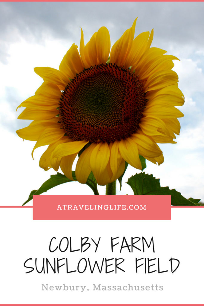 Visiting the Colby Farm Sunflower Field is a must-do during a trip to Boston in the fall, and it's just 45 minutes away in Newbury, Ma. Click to see photos of this beautiful farm and learn the best tips to make your visit great! | Things to do in Massachusetts | Day trips from Boston | Things to do near Boston | Farms in Massachusetts | #traveltips #Boston #Massachusetts #sunflowers